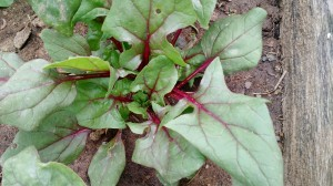 We tried growing red-stemmed spinach for the first time.  We loved its appearance and flavor.